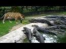 JAGUAR vs CROCODİLE ►► Real Fight - Snake Leopard Gorilla Big Baboon Puma Cougar Mountain Lion