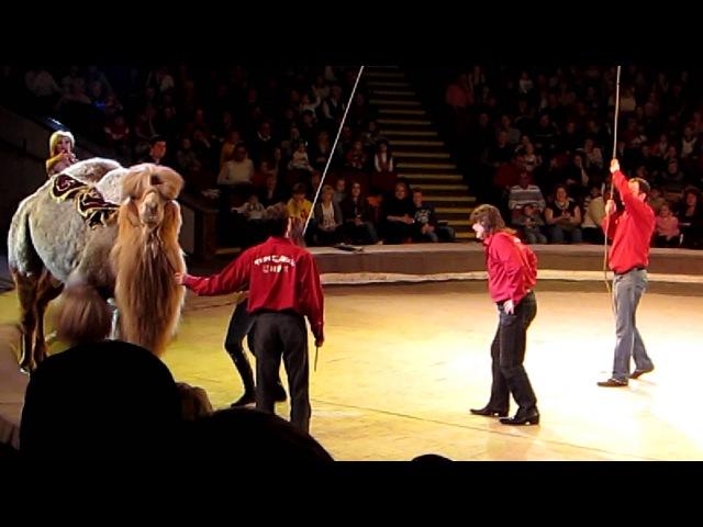 Прикол в цирке. Женщина упала с верблюда. To license this video contact info@lpe360.com