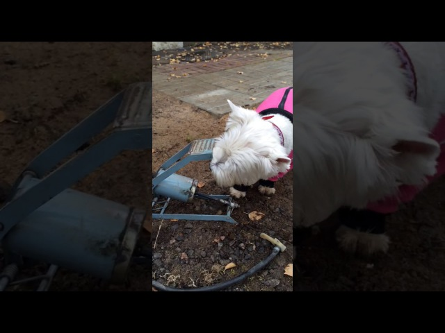 Собака -спасатель, говорящий вестик (Вестик Мерри)