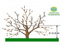Обрезка старого сада / Как реанимировать старые деревья / Омоложение старого фруктового сада