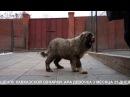 Щенок кавказской овчарки, сука 3,5 месяца. www.r- 7(926)2205603 Татьяна Ягодкина