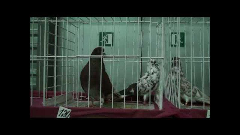 Голубів виставка м.Київ.20.01.2018