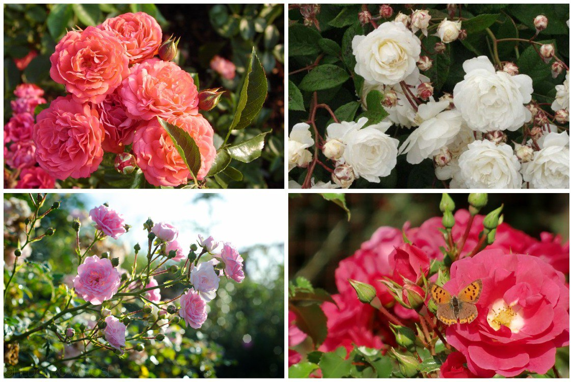 Нетребовательная красавица полиантовая роза возвращается в сад: посадка и уход