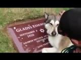 Собака плачет на могиле своего хозяина.