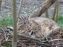 Амурский лесной кот(Дальневосточный лесной кот) . Немного крупнее домашней кошки.