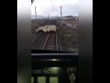 Если поезд не приходит вовремя. возможно в этом виноваты какие-то бараны