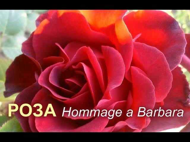 Роза Hommage a Barbara (Омаж а Барбара) в нашем саду