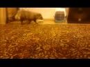 Домашняя енотовидная собака Фима Кузьмич