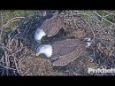 SWFL Eagles ~ M15 Delivers Grasses Sees Egg 1 For The First Time 11.19.17