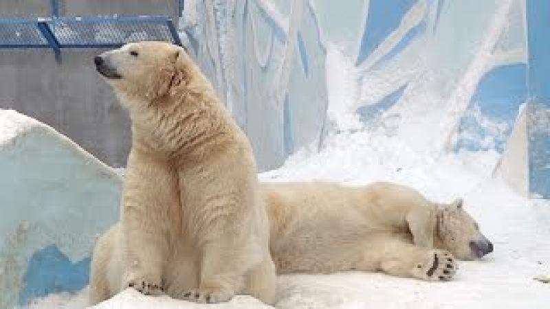 Белая медведица Герда и её сын Ростик родившийся 7 декабря 2015 года в Новосибирском зоопарке теперь ему 2 года и 1 месяц