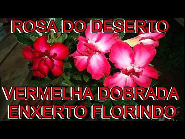 VERMELHA DOBRADA ENXERTADA,, UM ESPETÁCULO ROSA DO DESERTO