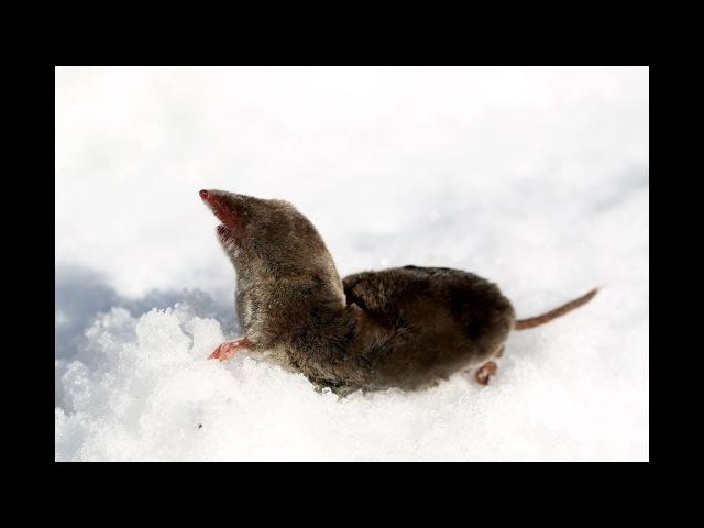 Неожиданный гость в кормушке для синиц землеройка Бурозубка shrew