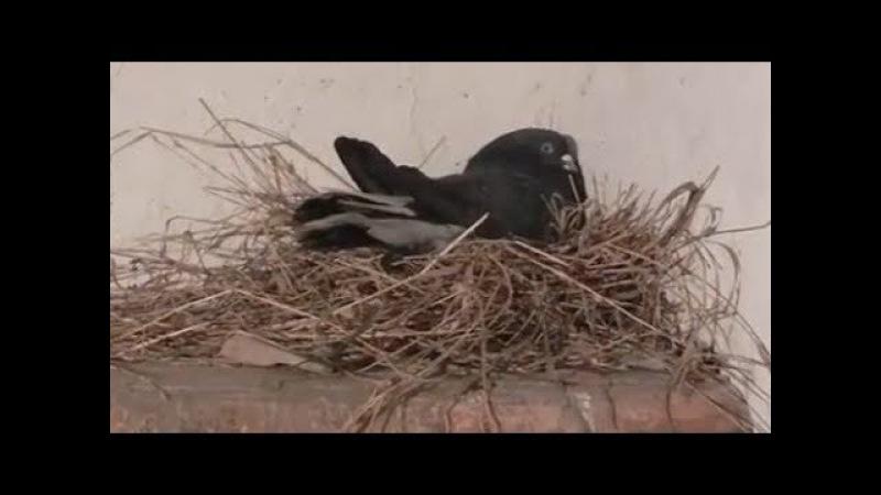 Голуби Гоша и Эни опять в ожидании потомства - Голубиная сага - 58 серия