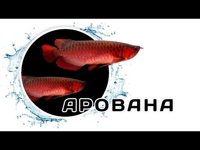 Арована – Рыба-дракон