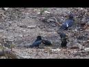 Black baza / Чёрная база / Aviceda leuphotes, Hair-crested Drongo / Лирохвостый дронго / Dicrurus hottentottus, Golden-crested Mynas / Золотохохлая майна / Ampeliceps coronatus