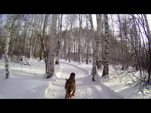1-Dog Skijor. Training before race - three versts!