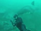 Белая акула пыталась откусить голову дайверу.