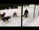 ШОК! Работница хаски-парка пинает собак в упряжке (Сочи)