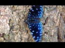 Бабочка-трещотка. Mariposas de Venezuela - Mariposa de Barinas - Mariposa Noche Estrellada - Hamadryas laodamia