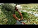 Стоит-ли обрезать листья клубники . мое мнение.