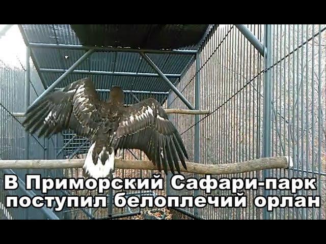 В Приморский Сафари-парк поступил белоплечий орлан
