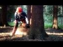 Very dangerous tree felling Chainsaw Husqvarna 560 XP