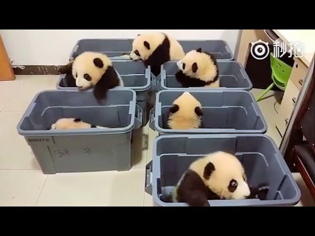 Baby Pandas 🔴 Cute and Funny Panda Videos Compilation 2018 Animal Planet Videos