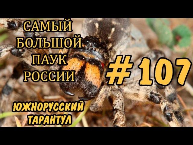 107 САМЫЙ БОЛЬШОЙ ПАУК РОССИИ ЮЖНОРУССКИЙ ТАРАНТУЛ Lycosa singoriensis