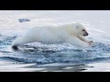 Polar Bears Swimming To The Arctic IMAX 3D