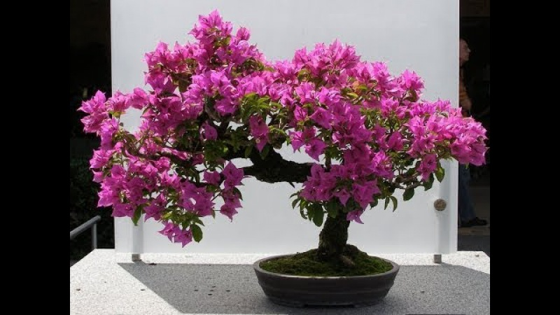 Bougainvillea bonsai | bougainvillea bonsai repotting