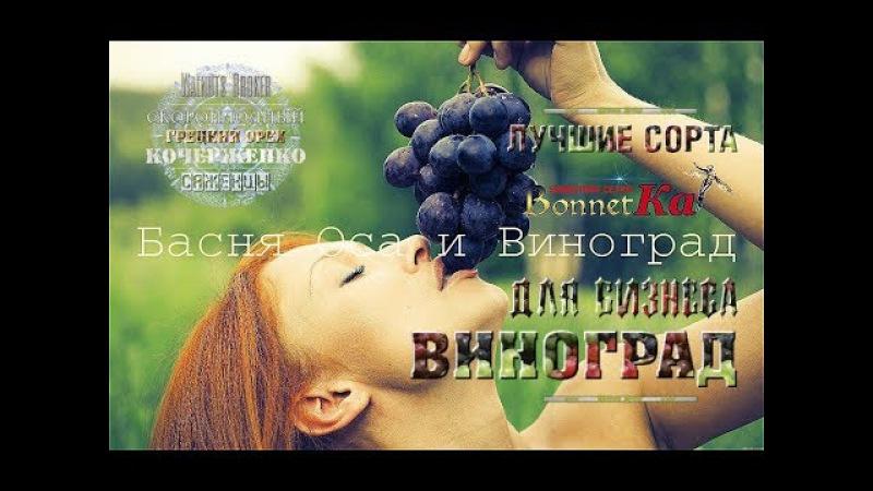 Саженцы винограда Граф Монте Кристо купить, 0985674877, 0957351986, Grapes Broker Украина