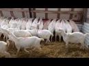 Кормление зааненских коз Кормовая лента