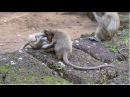 Monkey Sweet Pea playing with friends happy​ strong , Sweet Pea Monkey Video , Animals , part 142