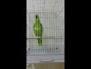 Попугай читает Азан - [Веселые Кавказцы]