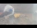 Formica rufibarbis 2018 02 03