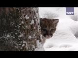 Кадры первого появления детеныша пумы в Новосибирском зоопарке