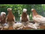 ДВУХЧУБЫЕ ЖЕЛТО ГРУДЫЕ ГОЛУБИ - PIGEONS - TAUB