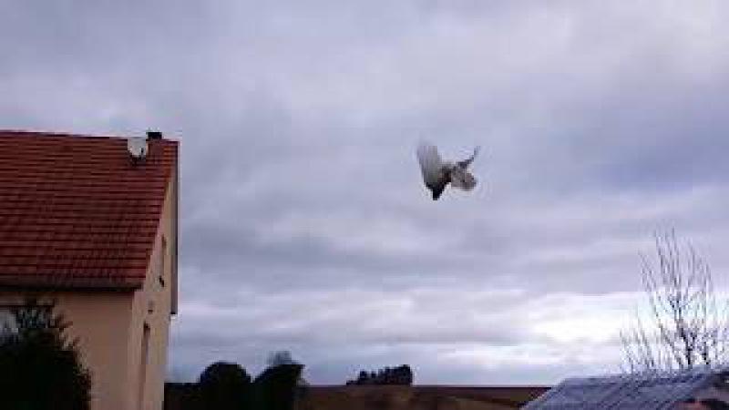 Красивый лет и бой голубя Бакинец pigeons flying tumblers