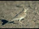 Messiaen - L'Alouette Calandrelle - Catalogue d'Oiseaux