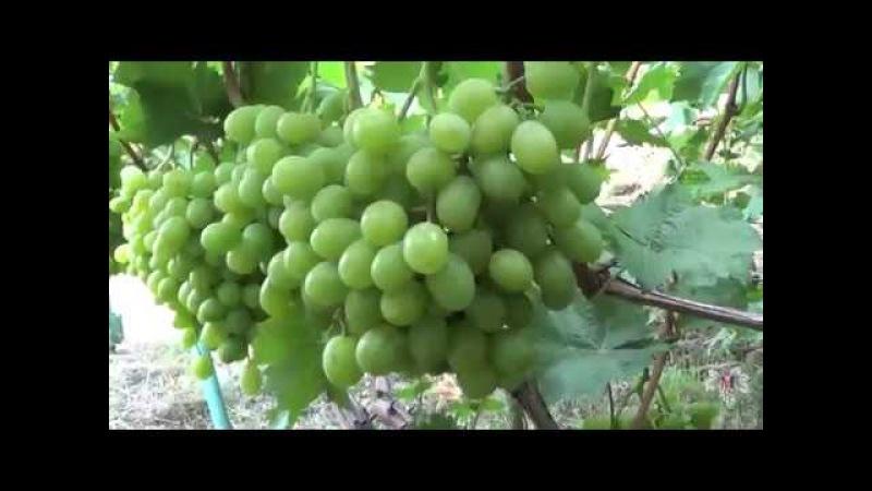 Виноград Ланселот. Виноград 2017.
