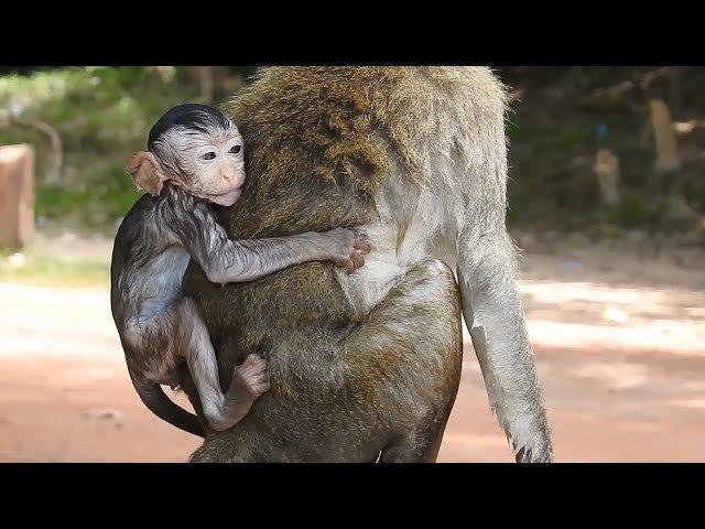 So Pity Baby, Amara Drown Inside Water By Stupid Monkey, No One Help Amara Daily Monkeys Man 716