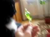 кошка лизает сладкий леденец!