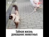 Прогулка кошки с поросенком