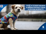 Уход за кожей мелких и миниатюрных собак в зрелом возрасте