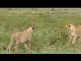 Лев против мангуста