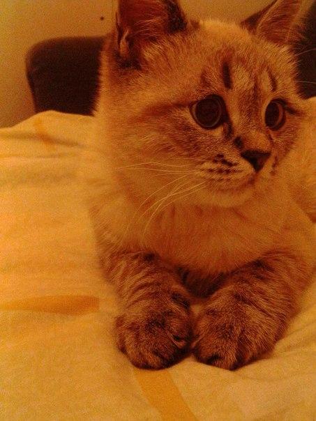 Пропал кот!!!  Большое Буньково,поселок Изумрудная Поляна,пропал кот.