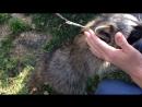 My animal planet - Raccoon