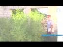 Милиция обнаружила «плантацию» конопли