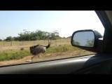 Соревнование страуса с автомобилем.