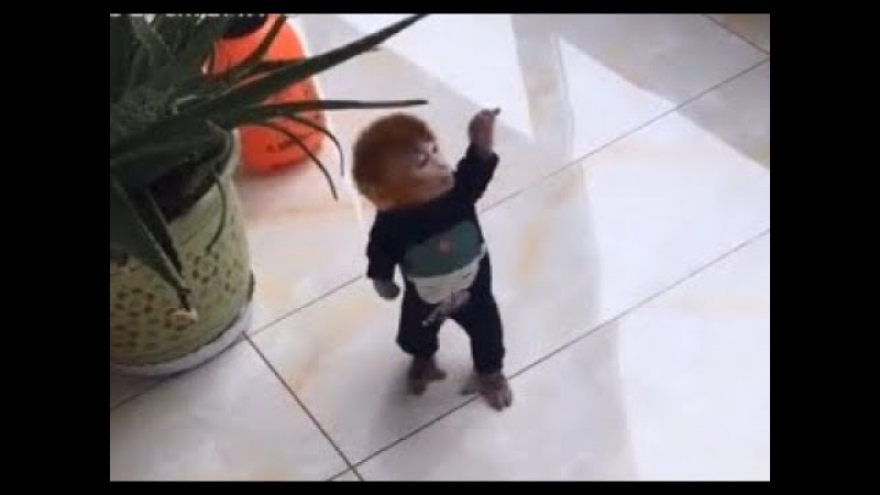 Pocket monkey Coco wants to water the flowers, but he is smaller than the watering can